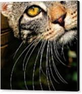 Curious Kitten Canvas Print by Meirion Matthias
