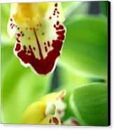 Cymbidium Seafoam Emerald Orchid Canvas Print by Kathy Yates