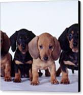 Dachshund Puppies  Canvas Print by Carolyn McKeone and Photo Researchers