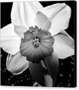 Daffodil In Springtime Canvas Print