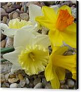 Daffodils Flower Artwork 29 Daffodil Flowers Agate Rock Garden Floral Art Prints Canvas Print