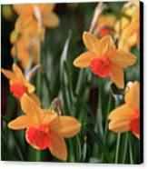Daffodils Canvas Print by Tracy Hall