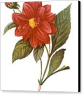 Dahlia (dahlia Pinnata) Canvas Print by Granger