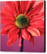 Daisy 1 Canvas Print