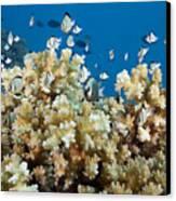 Damselfish Among Coral Canvas Print by Dave Fleetham - Printscapes