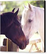Dark Bay And Gray Horse Sniffing Each Other Canvas Print