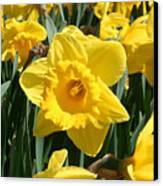 Darling Spring Daffodils Canvas Print
