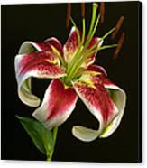 Day Lily Majesty Canvas Print by Robert Pilkington