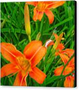 Daylily Greeting Canvas Print by Guy Ricketts