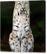 Divinity Canvas Print by Big Cat Rescue