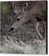 Doe Carefully Grazing In Tombstone Canvas Print