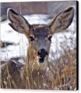 Doe Canvas Print