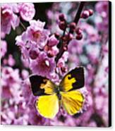 Dogface Butterfly In Plum Tree Canvas Print