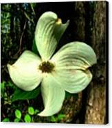 Dogwood Blossom I Canvas Print by Julie Dant