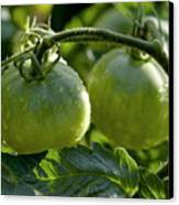 Drops On Immature Green Tomatoes After A Rain Shower Canvas Print by Sami Sarkis