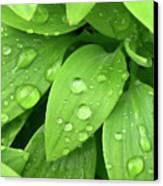 Drops On Leaves Canvas Print by Carlos Caetano