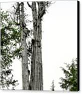 Duncan Memorial Big Cedar Tree - Olympic National Park Wa Canvas Print by Christine Till