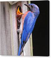 Eastern Bluebird And Chick Canvas Print