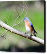 Eastern Bluebird Canvas Print by George Randy Bass