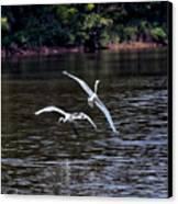 Egrets V Canvas Print