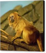 El Paso Zoo - Golden Lion Tamarin Canvas Print by Allen Sheffield