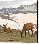 Elk Bulls In The Highlands Of Colorado Canvas Print