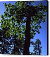Emerald Oak Canvas Print