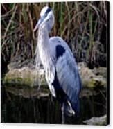 Everglades Heron Canvas Print