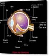Eye Anatomy,artwork Canvas Print by Francis Leroy, Biocosmos
