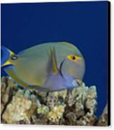 Eyestripe Surgeonfish Canvas Print by Dave Fleetham - Printscapes