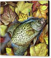 Fall Crappie Canvas Print
