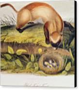 Ferret Canvas Print by John James Audubon