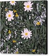 Field Daisies Canvas Print