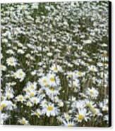 Field Dasies Canvas Print