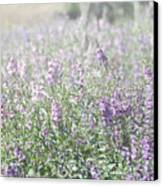 Field Of Lavender Flowers Canvas Print by Beverly Cazzell