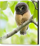 Fledgling Saw-whet Owl Canvas Print by Tim Grams