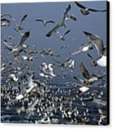 Flock Of Seagulls In The Sea And In Flight Canvas Print by Sami Sarkis