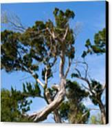 Florida Cedar Tree Canvas Print