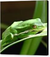 Florida Tree Frog Canvas Print
