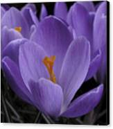 Flower Crocus Canvas Print