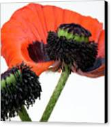 Flower Poppy In Studio Canvas Print by Bernard Jaubert