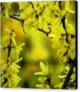 Forsythia At The Hacienda Canvas Print
