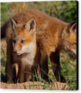 Fox Cubs Playing Canvas Print by William Jobes