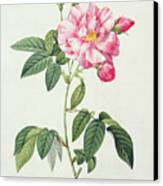 French Rose Canvas Print