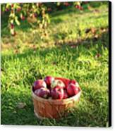 Freshly Picked Apples In The Orchard  Canvas Print