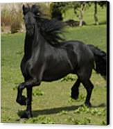 Friesian Horse In Galop Canvas Print by Michael Mogensen
