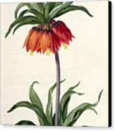 Fritillaria Imperialis Canvas Print