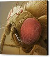 Fruit Fly Head, Sem Canvas Print by Power And Syred