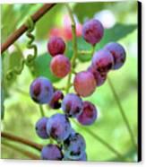 Fruit Of The Vine Canvas Print by Kristin Elmquist