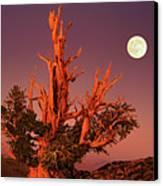 Full Moon Behind Ancient Bristlecone Pine White Mountains California Canvas Print